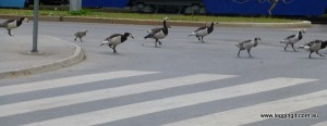 These Geese were so cute they held up the traffic as they crossed on the Zebra Crossing