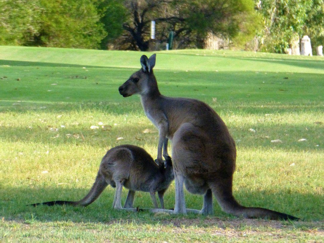 Kangaroos Perth