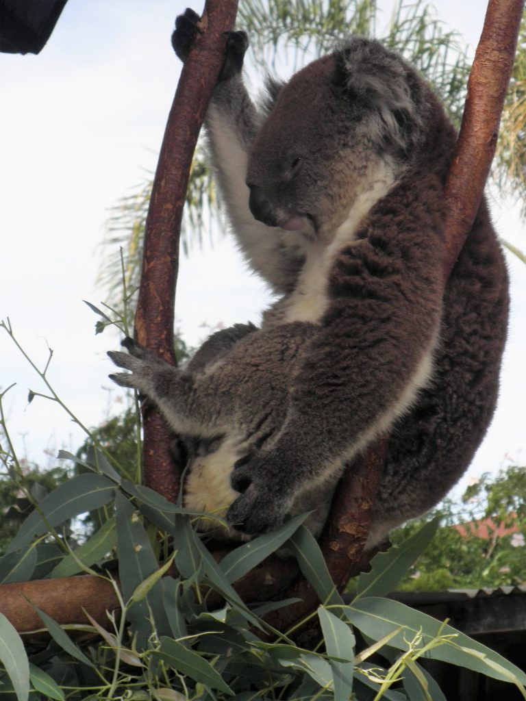 Koalas Wildlife Perth