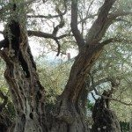 2,000 Year Old Olive Tree Of Mirovica.